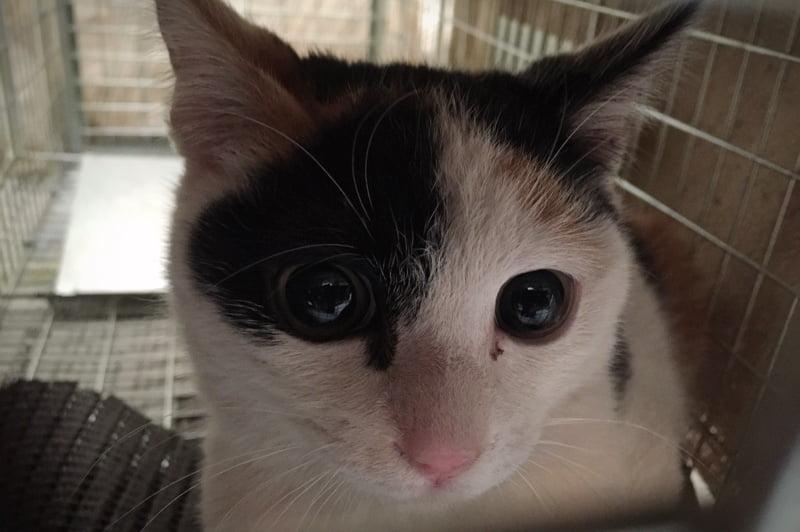 クリッとした目、きれいな顔立ちの三毛猫さん