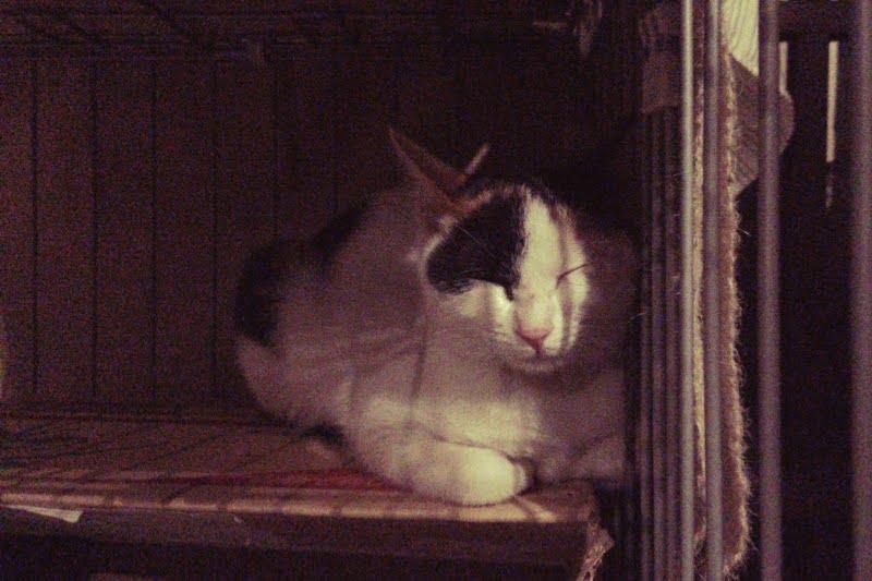 三毛猫さん、うつらうつらと…
